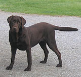 Brown Chocolate Labrador Retriever