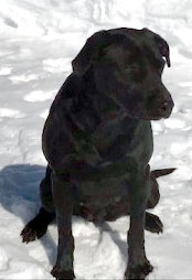 Black Adult Female Labrador Retrieveer
