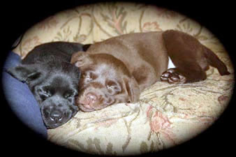 Chocolate and black Labrador Retriever puppies